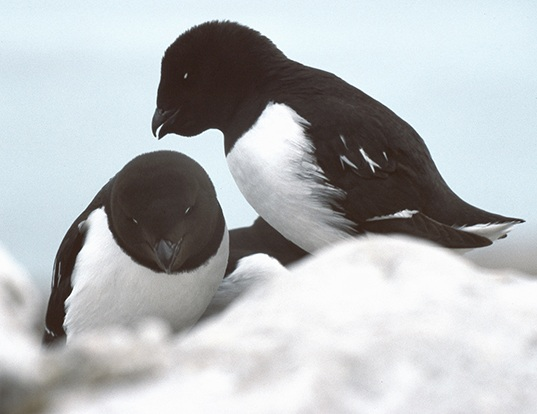 Picture of a little auk (Alle alle)