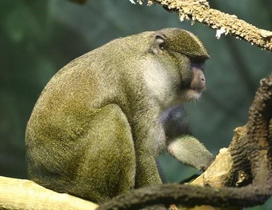 Picture of a allen's swamp monkey (Allenopithecus nigroviridis)