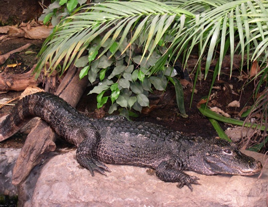 Picture of a chinese alligator (Alligator sinensis)