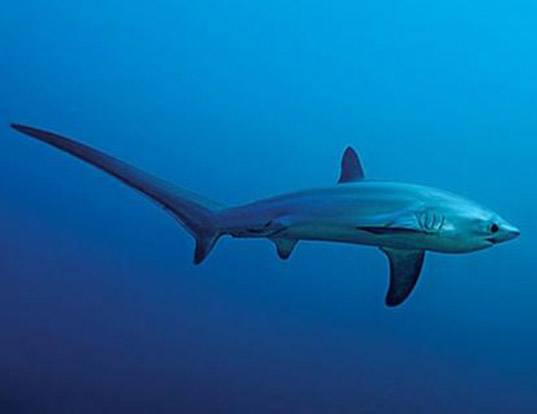 Picture of a thresher shark (Alopias vulpinus)