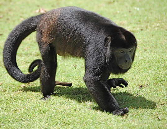 Picture of a mantled howler monkey (Alouatta palliata)