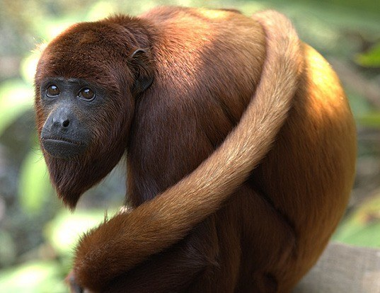 Picture of a colombian red howler monkey (Alouatta seniculus)