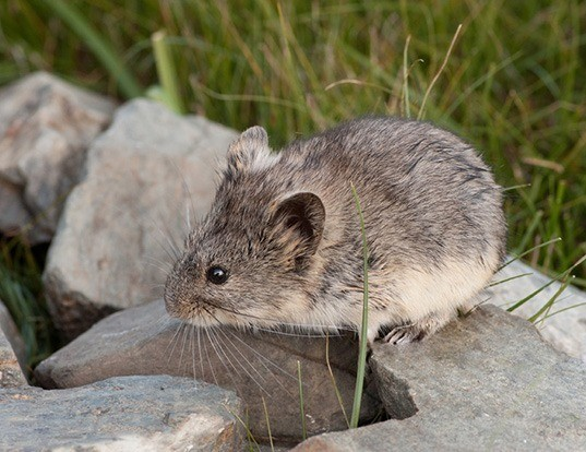 Picture of a mongolian silver vole (Alticola semicanus)