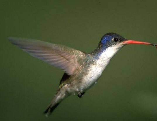 Picture of a violet-crowned hummingbird (Amazilia violiceps)
