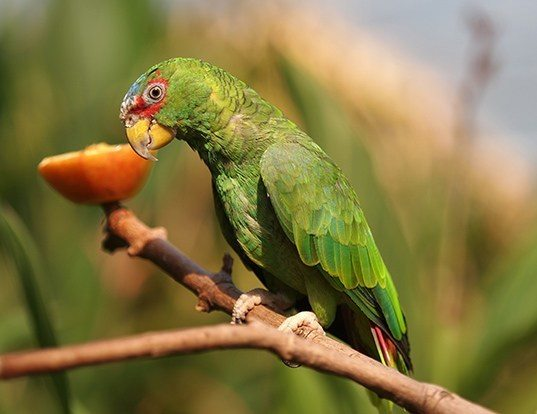 Picture of a white-fronted amazon (Amazona albifrons)