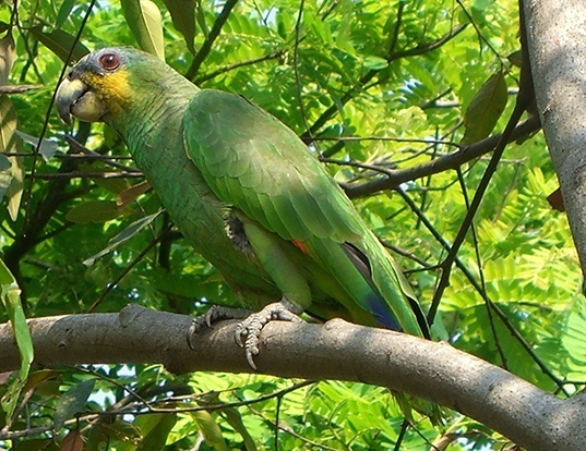 Picture of a orange-winged amazon (Amazona amazonica)