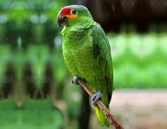 Picture of a red-lored amazon (Amazona autumnalis)