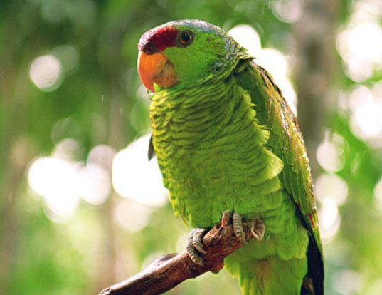 Picture of a lilac-crowned amazon (Amazona finschi)
