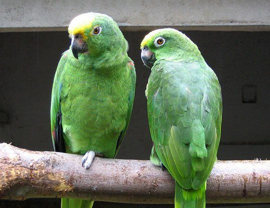 Picture of a yellow-crowned amazon (Amazona ochrocephala)