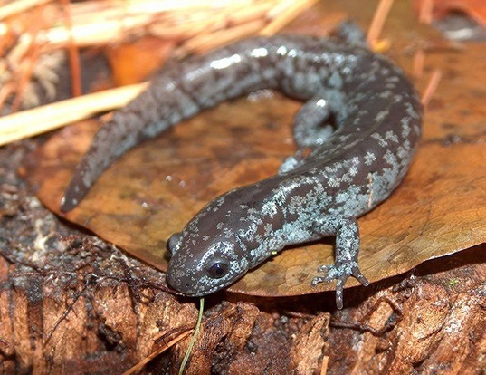 Picture of a mabee's salamander (Ambystoma mabeei)