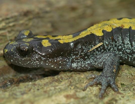 Picture of a northern long-toed salamander (Ambystoma macrodactylum krausei)