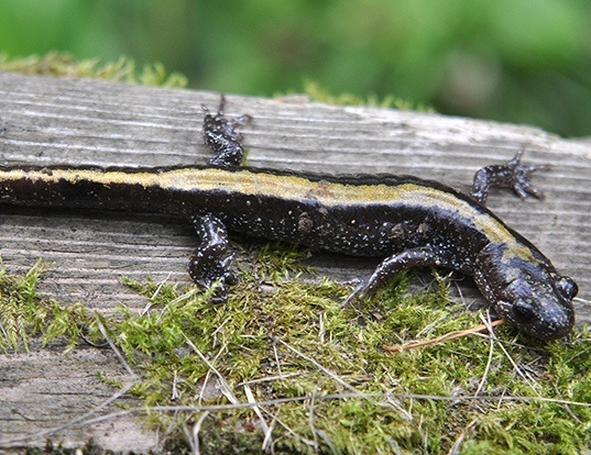 Picture of a eastern long-toed salamander (Ambystoma macrodactylum)
