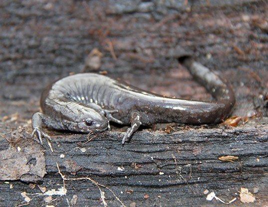 Picture of a smallmouth salamander (Ambystoma texanum)