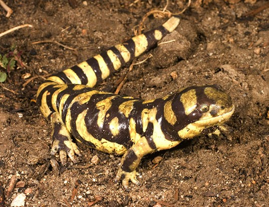 Picture of a tiger salamander (Ambystoma tigrinum)