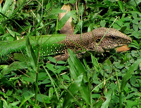 Picture of a giant ameiva (Ameiva ameiva)