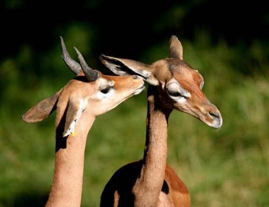 Picture of a clarke's gazelle (Ammodorcas clarkei)