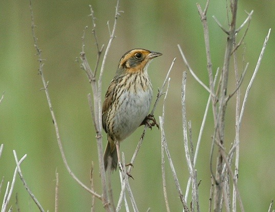 Picture of a saltmarsh sparrow (Ammodramus caudacutus)