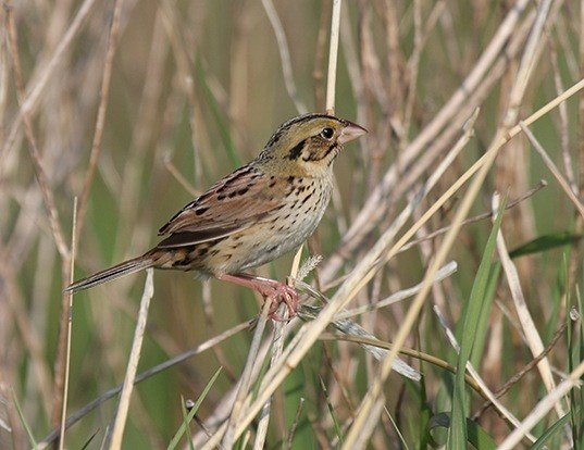 Picture of a henslow's sparrow (Ammodramus henslowii)