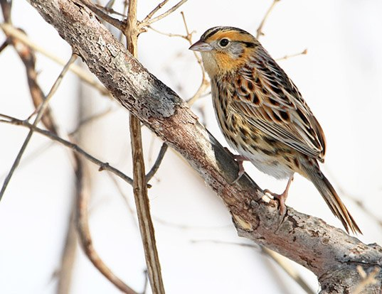 Picture of a le conte's sparrow (Ammodramus leconteii)