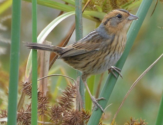 Picture of a nelson's sparrow (Ammodramus nelsoni)