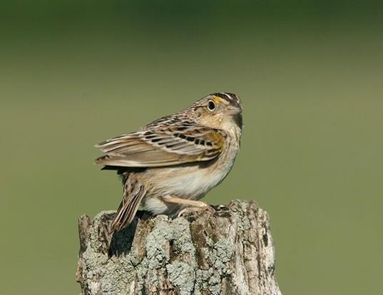 Picture of a grasshopper sparrow (Ammodramus savannarum)