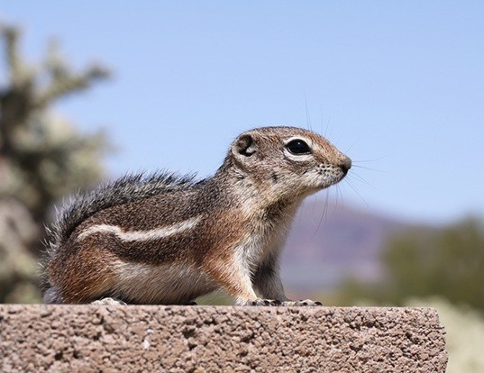 Picture of a harris's antelope squirrel (Ammospermophilus harrisii)
