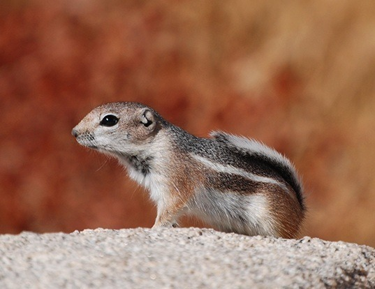 Picture of a white-tailed antelope squirrel (Ammospermophilus leucurus)