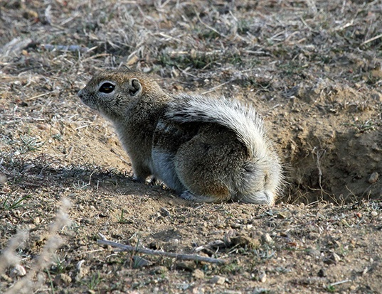 Picture of a nelson's antelope squirrel (Ammospermophilus nelsoni)