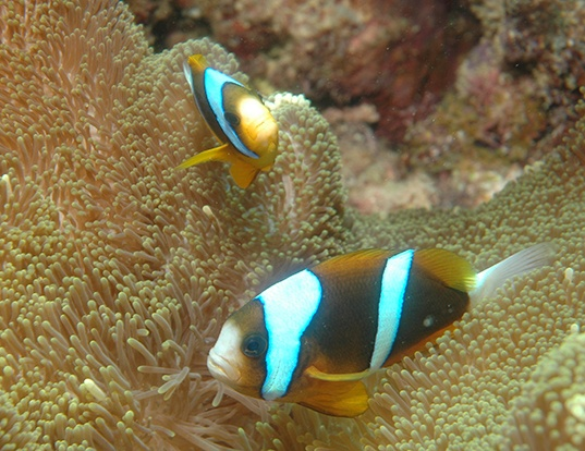 Picture of a barrier reef anemonefish (Amphiprion akindynos)