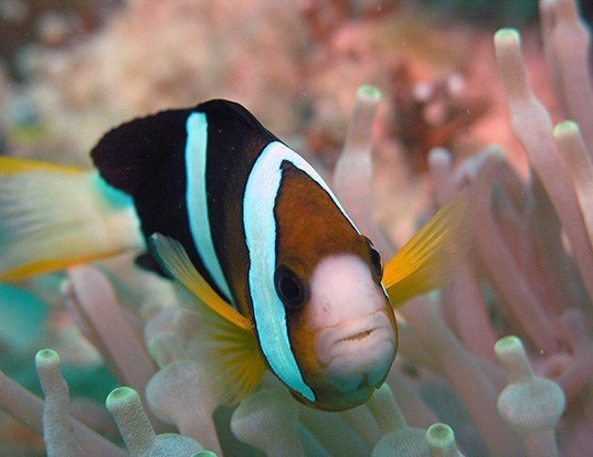 Picture of a yellowtail clownfish (Amphiprion clarkii)