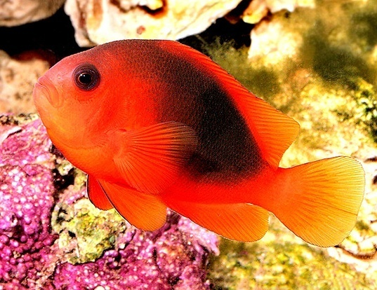 Picture of a red saddleback anemonefish (Amphiprion ephippium)