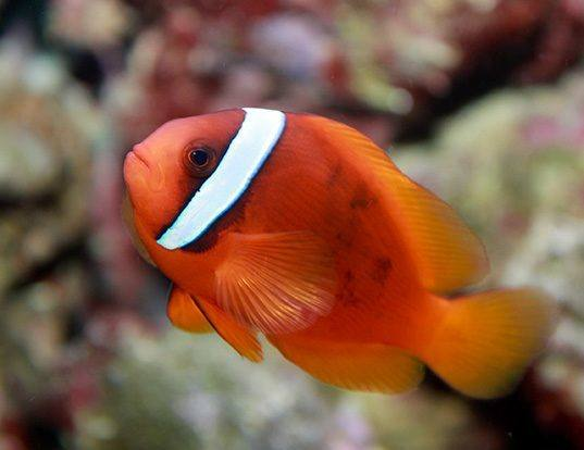 Picture of a tomato clownfish (Amphiprion frenatus)