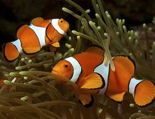 Picture of a clown anemonefish (Amphiprion ocellaris)