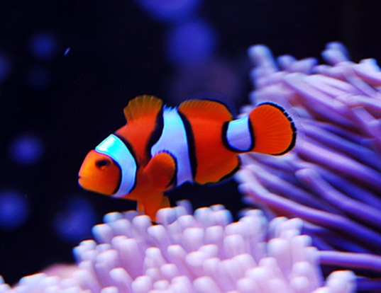 Orange clownfish life expectancy for Clown fish scientific name