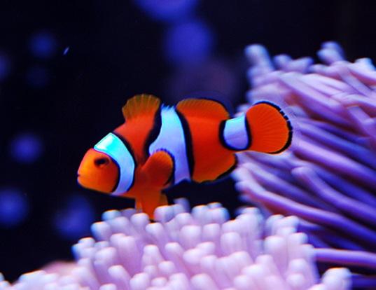 Picture of a orange clownfish (Amphiprion percula)