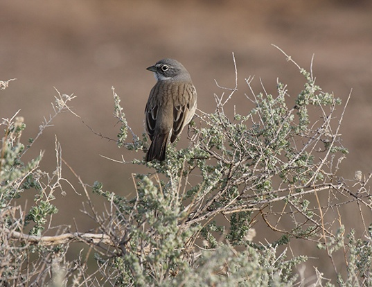 Picture of a sage sparrow (Amphispiza belli)