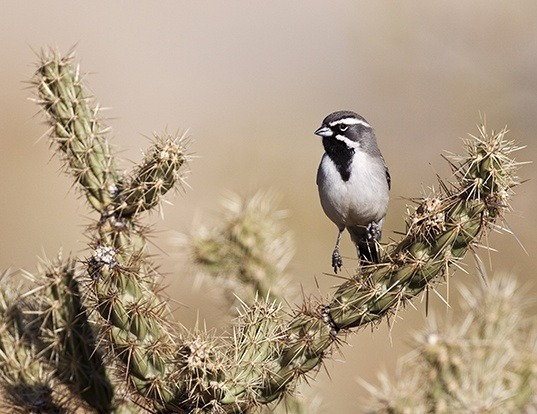 Picture of a black-throated sparrow (Amphispiza bilineata)