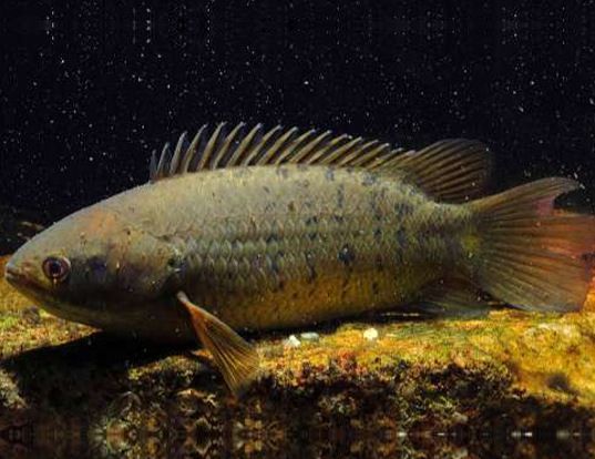 Picture of a climbing perch (Anabas testudineus)