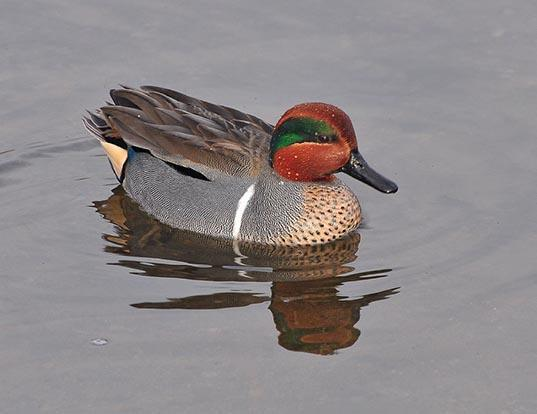 Picture of a teal (Anas crecca)