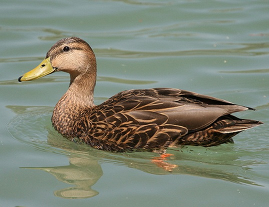 Picture of a mexican duck (Anas diazi)