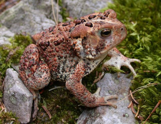 Picture of a american toad (Anaxyrus americanus)
