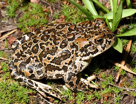 Picture of a yosemite toad (Anaxyrus canorus)