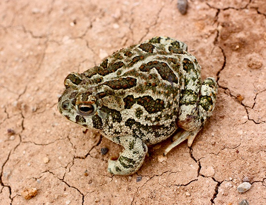 Picture of a great plains toad (Anaxyrus cognatus)