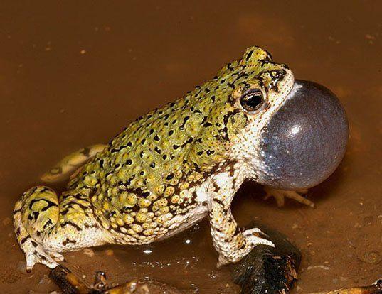 Picture of a sapo verde (Anaxyrus debilis)