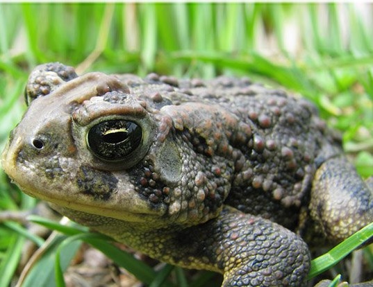 Picture of a canadian toad (Anaxyrus hemiophrys)