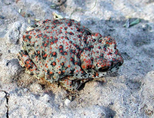 Picture of a red-spotted toad (Anaxyrus punctatus)