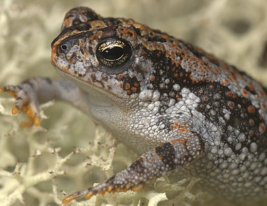 Picture of a oak toad (Anaxyrus quercicus)