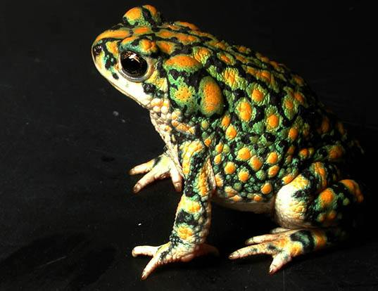 Picture of a sonoran green toad (Anaxyrus retiformis)