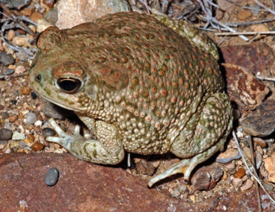Picture of a texas toad (Anaxyrus speciosus)