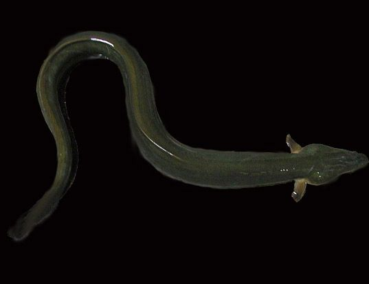 Picture of a indonesian shortfin eel (Anguilla bicolor)
